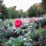 Red Rose Garden — Stock Photo