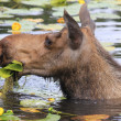 Stock Photo: Female moose eating water flowers, Alaska