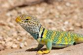 Eastern Collared Lizard — Stock Photo