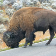 Bisons grazing on the road — Stock Photo