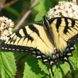 Old World Swallowtail (Papilio Machaon) — Stock Photo