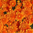 Stock Photo: Orange Chrysanthemum