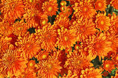 Orange Chrysanthemum — Stock Photo