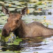Female moose eating yellow flowers — Stock Photo #27910793