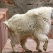 Mountain Goat inside the building — Stock Photo