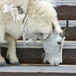 Mountain goat licking salt from stairs — Stock Photo