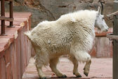 Mountain Goat inside the building — 图库照片