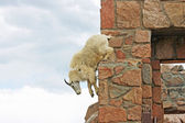 Mountain goat jumping down — Photo