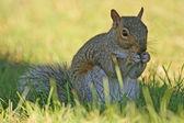 Sitting squirrel — Stock Photo