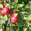 Red apples on branch — Stock Photo