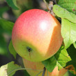 Red-green apple — Stock Photo
