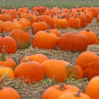 Pumpkin's field — Stock Photo