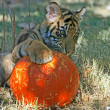 Tiger cub playing wit a pumpkin — Stock Photo