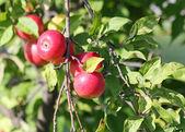 Manzanas rojas en rama — Foto de Stock