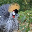 East African Crowned Crane close up — Stock Photo #32282923