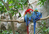 Pair of Macaw — Stock Photo