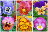 Collage with 6 pansy flowers — Stock Photo