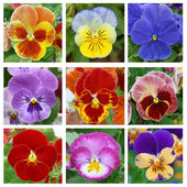 Collage with 9 pansy flowers — Stock Photo