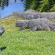 Alligators and the bird — Stock Photo