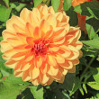 Stock Photo: Orange dahliflower