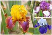 Collage with 3 iris flowers — Stock Photo