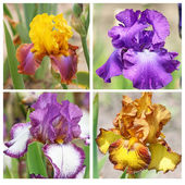 Collage with 4 iris flowers — Stock Photo