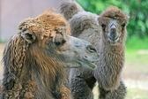 Head of camel in profile — Stock Photo