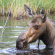 Wet head of female moose — Stock Photo #35219029