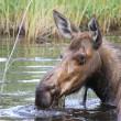 Wet head of female moose — Stock Photo #35219029