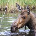 Wet head of female moose — Stock Photo