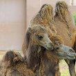 Tenderness between camels — Stock Photo