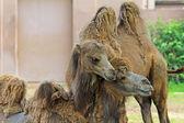骆驼之间的柔情 — 图库照片