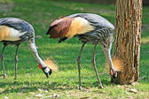 Pair of East African Crowned Crane looking for worms — Stock Photo