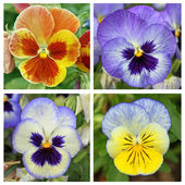 Collage with 4 pansy flowers — Stock Photo