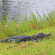 Alligator laying on grass — Stock Photo