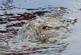Dragonfly sitting on alligator's head — Foto de Stock