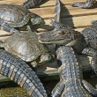 Alligators and turtles — Stock Photo