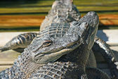 Alligators laying one on another — Stock Photo