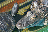Head of alligator and turtle — Stock Photo
