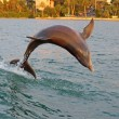 Jumping dolphin in Clearwater, Florida — Stock Photo