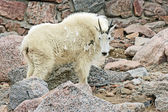 Mountain goat in profile — Stock Photo