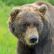Grizzly — Stock Photo #39288453