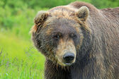Grizzly — Stock fotografie