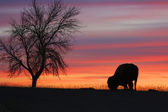 Silhouette of eating bison and tree at sunset — Stock Photo