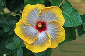 Hibiscus in yellow and white — Foto de Stock