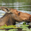 Female moose dipped in water — Stock Photo