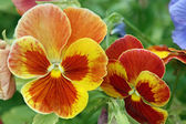 Pansy in yellow and brown — Stock Photo