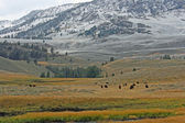 First snow in Yellowstone NP and grazing bisons — Stock Photo