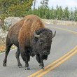 Stock Photo: Lonely bison on road