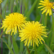 Stock Photo: Yellow teraxacum